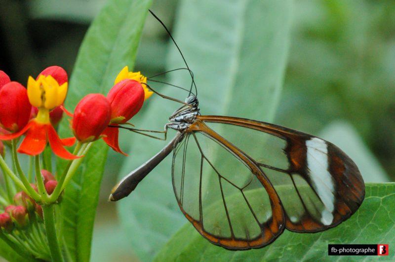 Macro Lepidoptere Greta Oto @ Jardins aux papillons - Noirmoutier