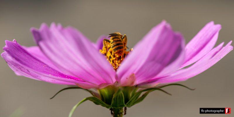 Macro Abeille Pollen @ Mon Jardin - Saint Nazaire