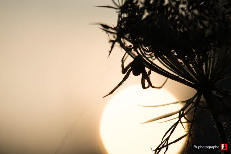 Macro Araignée couche de soleil @ Mon Jardin - Saint Nazaire