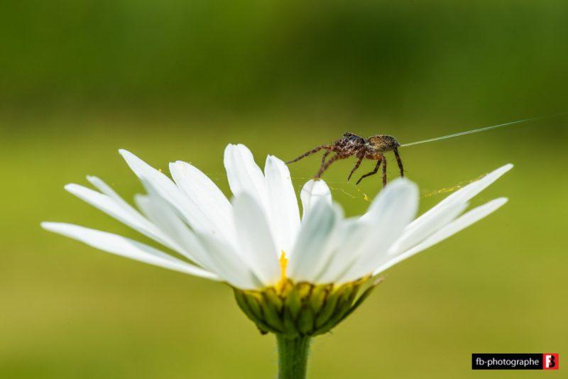 Macro Araignee projettant de la soie @ Mon Jardin - Saint Nazaire