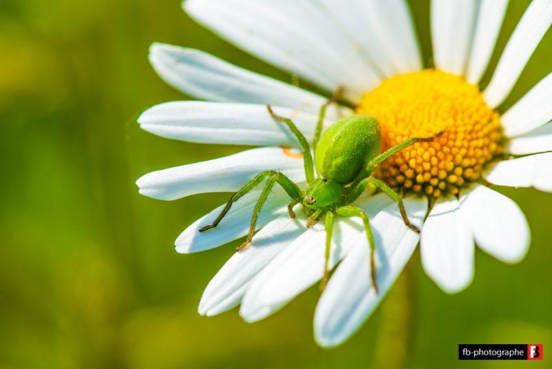Macro Araignee verte Micrommata Virescens @ Mon Jardin - Saint Nazaire